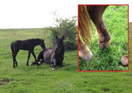 Golani cu bani: Caii unei asociaţii din Betfia, antrenaţi să se ocupe de copii cu dizabilităţi, au fost fugăriţi până la epuizare şi loviţi cu o maşină de teren (FOTO)