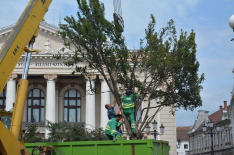Tise pe sus: A început relocarea arbuştilor din faţa Teatrului în Parcul 1 Decembrie (FOTO / VIDEO)