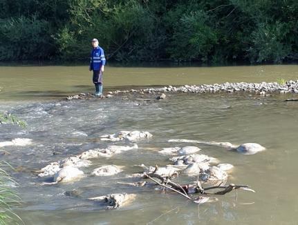 Oribil! Peste 400 de kilograme de organe, piei şi capete de la oi au fost aruncate în Crişul Negru, în Bihor (FOTO / VIDEO)