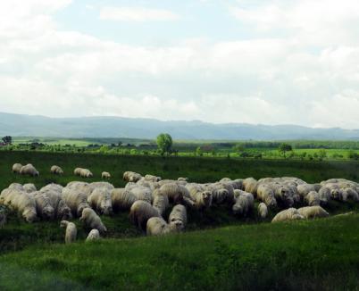 Bihorenii au declarat, în 2009, de cinci ori mai multe animale decât aveau