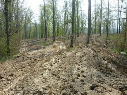 Frate cu hoţii de lemne: Un pădurar, cercetat pentru dispariţia a 800 de copaci din pădurea Primăriei Sânicolau Român