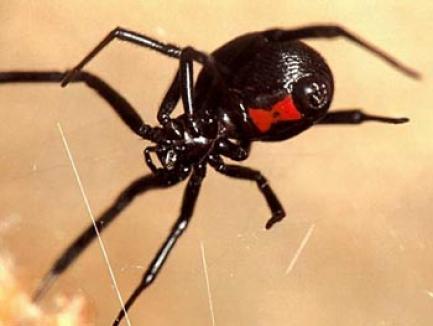 Muşcăturile de păianjeni