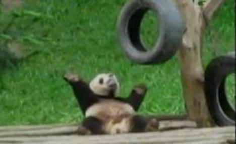 """Un ursuleţ panda, cel mai simpatic dansator """"din buric"""" (VIDEO)"""