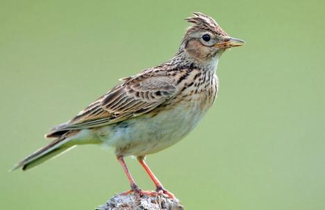 Opriţi măcelul ciocârliilor! Peste 4.000 de păsări din această specie vor fi împuşcate în Bihor