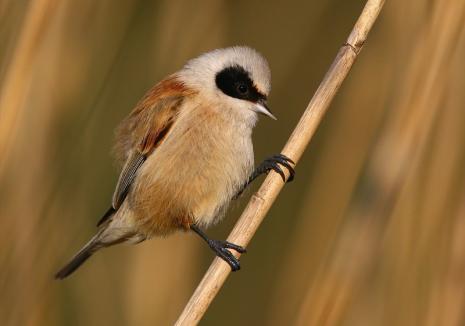 Înaripatele Oradiei: Malurile verzi ale Crişului Repede şi stufărişul au atras în oraş numeroase specii noi de păsări (FOTO)