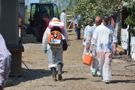 Încă patru focare de pestă porcină în Bihor