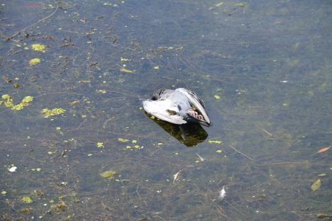 Masacru în apă: Autoritățile încearcă să afle de ce mor pe capete peștii din Crișul Repede (FOTO)