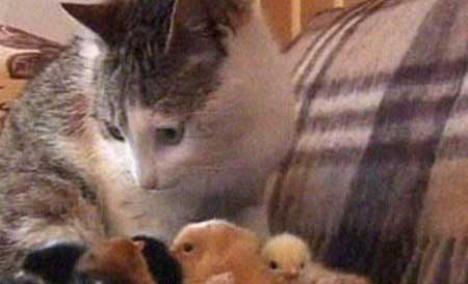Pisică cu personalitate dublă: a adoptat pui de găină şi face pe cloşca (VIDEO)