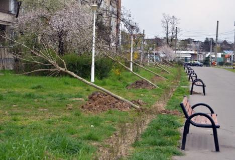Primăria Oradea pregăteşte plantările de primăvară: 500 de copaci vor fi sădiţi în oraş