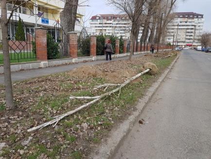 Plantările de primăvară: 300 de puieţi de arbori sădiţi în Oradea (FOTO)