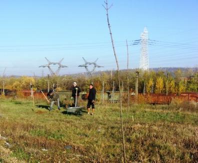 Perdea verde pe centura Oradiei: 300 de frasini plantaţi, alţi 400 vor fi sădiţi