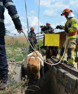 Pompierii au salvat o vacă dintr-un canal de pe Calea Borşului (FOTO)