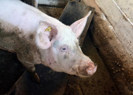 Noi cazuri de pestă porcină africană în Bihor: opt focare între porcii domestici, 17 cazuri la porcii mistreţi