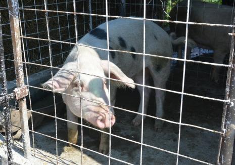 Pesta porcină africană face și ea ravagii: în Bihor a crescut numărul focarelor și incidența bolii care afectează suinele