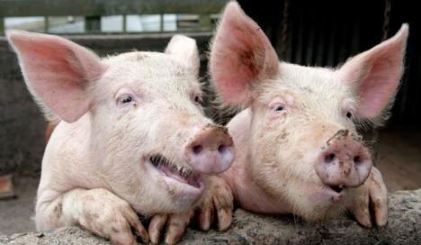În plină perioadă de sacrificare a porcilor de Ignat, două noi focare de pestă porcină descoperite în Săcueni