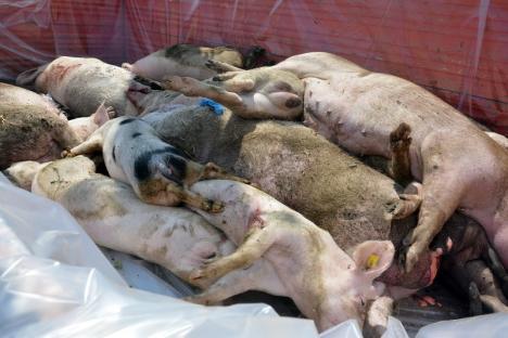 Noi focare de pestă porcină în Bihor: Porcii din patru gospodării din Cubulcut au fost omorâţi