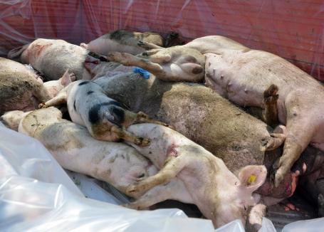 Pesta porcină 'moare' în Bihor: În judeţ au mai rămas 14 focare, în trei sate