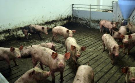 Nu vor la Primărie! Nutripork va organiza dezbaterea pentru ferma din Ioşia la restaurantul Ciuperca, pe 28 noiembrie