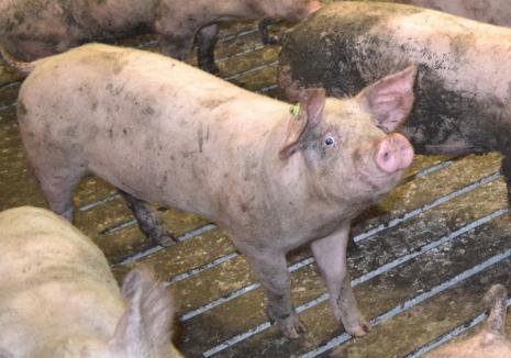 Pesta porcină revine în Bihor: S-au găsit 19 noi focare active!