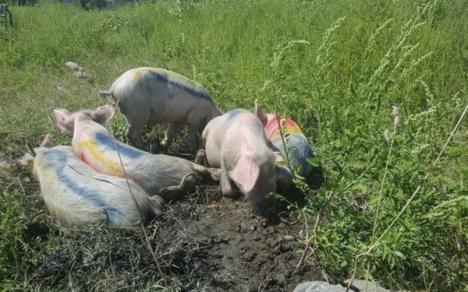 Alertă veterinară: Primul focar de pestă porcină africană din România se află în apropiere de Bihor