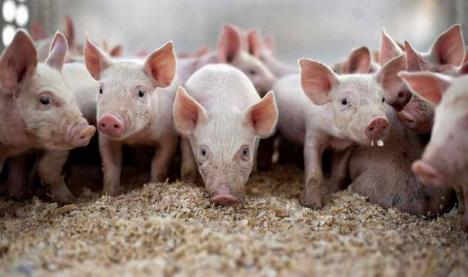 Una caldă, alta rece: DSVSA anunţă ridicarea restricţiilor impuse de gripa aviară din Ungaria, dar a depistat noi focare de pestă porcină africană