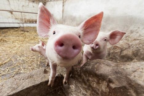 Bihorel: Veşti bune pentru toţi porcii din România!