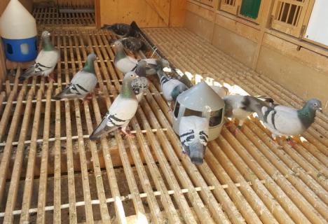 Campionatul porumbeilor voiajori: Câştigătorii ultimelor două etape organizate de asociaţia bihoreană