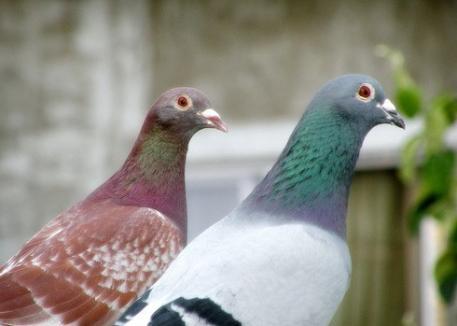 Expoziţie de porumbei voiajori, în zilele de 21 şi 22 ianuarie, la Trade Center Oradea