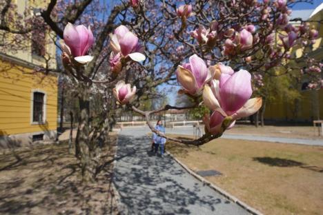GALERIE FOTO: Primăvara în Oradea. Au înflorit magnoliile, parcurile sunt tot mai colorate