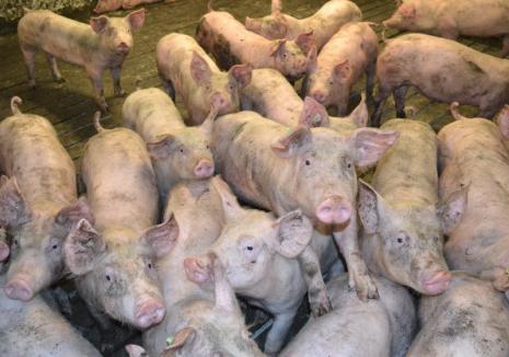 Toate târgurile de animale din Bihor, închise din cauza pestei porcine!