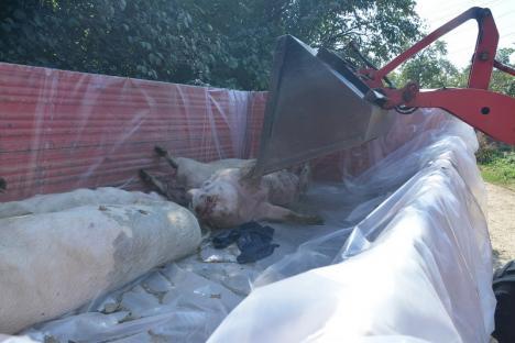 După lichidarea a 1.372 de porci, în Bihor există o nouă suspiciune de pestă porcină!