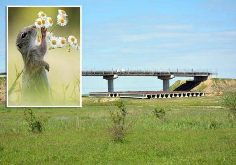 Autostrada Transilvania în Bihor, condiţionată de… protecţia popândăilor!