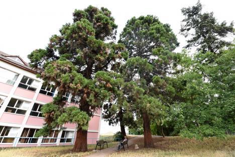 Giganţi uitaţi: Deşi e singurul loc din România unde cresc împreună trei arbori sequoia, Oradea îşi ignoră această avuţie naturală(FOTO)
