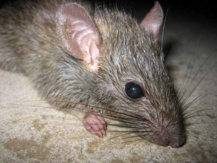 Mamă iresponsabilă: Băieţelul ei de un an şi 6 luni, a fost muşcat de şobolan, iar ea a fugit cu el din spital!