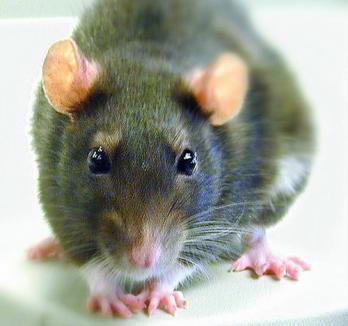 O fetiţă de numai 8 zile a fost muşcată de un şobolan în timpul somnului