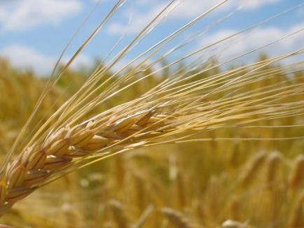 Incendiu la seceriş: 1,5 hectare de grâu au ars lângă Salonta