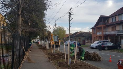 Direcţia Tehnică face cum vrea ea! În dispreţ faţă de propriul regulament, Primăria Oradea taie copaci pe domeniul public, dar nu plantează alţii în locul lor (FOTO / VIDEO)