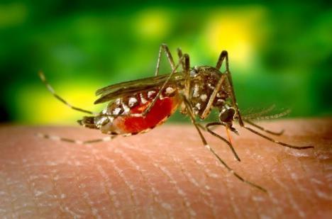 Înţepăturile de ţânţari şi virusul West Nile