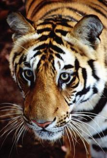 A halit ultimul tigru!