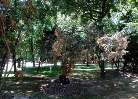 'Tisele mor': Ecologiştii orădeni acuză Primăria că a masacrat arborii din Piaţa Ferdinand