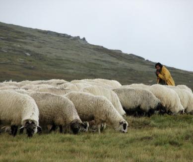 Lupul paznic la oi: peste 100 de oi au murit speriate de câinele care le păzea