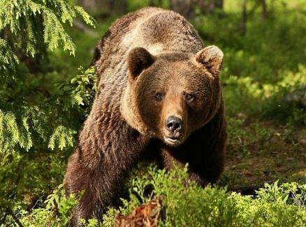 140 de urși ar urma să fie împușcați, în România. Ministrul Mediului anunţă amenzi pentru cei care hrănesc urşii
