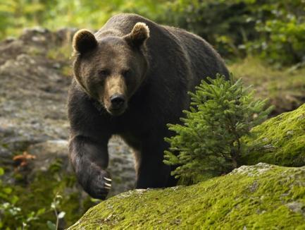 Doi bărbaţi în stare gravă, după ce au fost sfârtecaţi de urs!