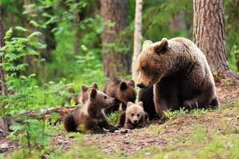 Ordonanţa anti-urşi, aprobată: Animalele pot fi împuşcate, dacă sunt agresive