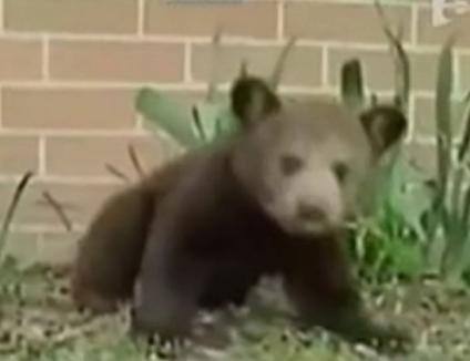 Ursuleţul Hapciu: strănută de 30 de ori în jumătate de minut (VIDEO)