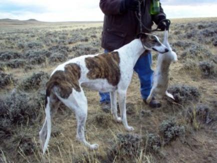 Bărbat din Bihor, prins la braconaj cu un ogar. Câinele a fost confiscat, iar proprietarul a ajuns în arest