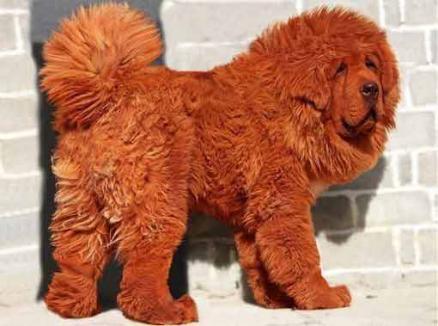 Un câine Mastif Tibetan, vândut cu 1,5 milioane de dolari