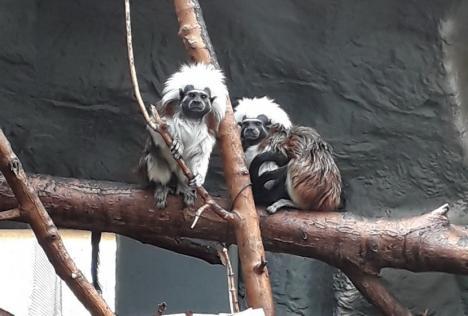 Specie de maimuțe pe cale de dispariție: Pui de tamarin la Zoo Oradea (FOTO)