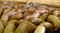 Dezastrul pestei porcine continuă: Boala s-a răspândit într-un nou judeţ