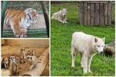 Animale noi, aduse din Cehia şi Slovacia: Lupi arctici şi tigri siberieni la Zoo Oradea (FOTO)